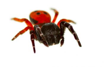 Spider Bites, Symptoms, Causes and Treatment